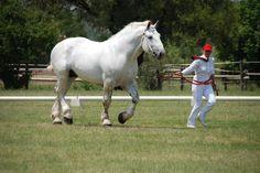 Percheron Horses | Summerwind Percheron: Champion Percheron Stallion ~ Horse Of The Year ...