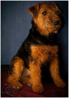 Welsh terrier This looks like our Palin.
