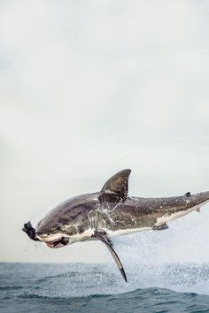 Seal snack. Airborne Great White catches a bite to eat.