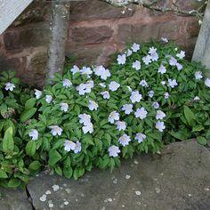Buy windflower Anemone nemorosa 'Robinsoniana': Delivery by Crocus