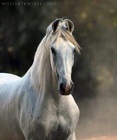 stallion SHIVALIK Owner: Patel Farm, Ahmedabad, (Gujarat, India) ©Wojtek Kwiatkowski Photography 2017