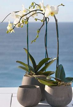 orchids-emit oxygen during the night time purifying the air when you sleep Cool Plants, Air Plants, Fresh Flowers, Silk Flowers, White Flowers, My Flower, Flower Power, Orchid Arrangements, Bonsai