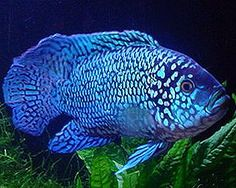 electric blue jack dempsey fish - Google Search