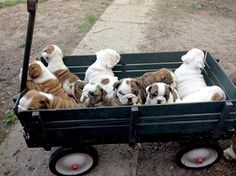 Bulldogs for everyone! Who wants one? They are free. :D