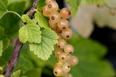 Whitecurrant, Blanka Blanka is the connoisseurs currant. Better tasting and heavier cropping than a Versailles whitecurrant, Blanka can produce over 4kgs of fruit per bush.