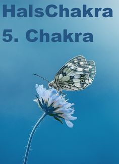 Farbe = hellblau Element = Klang Aromen = Eukalyptus  Steine: Chalzedon, Aquamarin, blauer Topas Chakra, Dandelion, Plants, Blue Topaz, Light Blue, Stones, Colour, Dandelions, Chakras