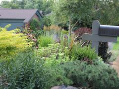 """Plant Variety Is Critical in Front Yard Plan, varying bloom times and an assortment of foliage. Tiger Eye Sumac shrub provides lighter yellow foliage contrasts with Eupatorium 'Chocolate'. There is also a weeping beech and Fagus sylvatica """"Pendula Purpurea'"""