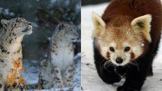 Schneeleopard und Roter Panda