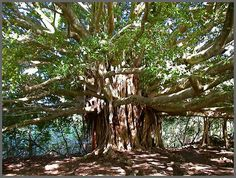 banyan tree - Google Search