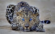 Beautiful blue eyes leopard ready to pounce... click on picture to see more