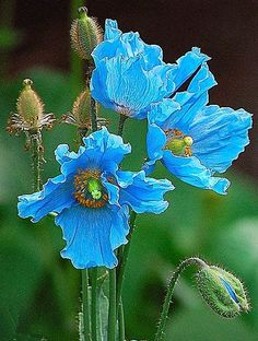 Himalayan Blue Poppies - grew these in my wildflower garden   Backyards Click