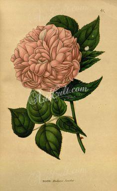 Rose Madame Souchet      ...