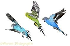 Photograph of Budgerigar (Melopsittacus undulatus) group in flight. Rights managed white background image. Funny Birds, Cute Birds, Small Birds, Colorful Birds, Budgie Parakeet, Budgies, Parrots, Parrot Flying, African Grey Parrot