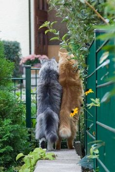 Looks like some beautiful Maine Coon kitties to me. Cute Kittens, Cats And Kittens, Pretty Cats, Beautiful Cats, Animals Beautiful, Animals And Pets, Funny Animals, Cute Animals, I Love Cats