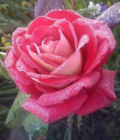 Rose Midsummer