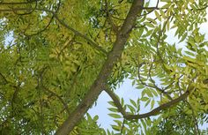 Ash tree. A much sought after timber tree due to its flexibility and capacity to absorb shocks. Ash leaves don't grow until May, which gives other plants under a tree a chance to grow well, making ash a good choice for plants and wildlife.