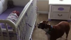 Boxer Is Concerned About Newborn Baby's Cries