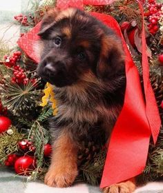 "German Shepherd Pup ~ Classic ""Holiday Pup"" Look"