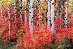 Maple and aspen trees in the Wasatch Mountains, Utah