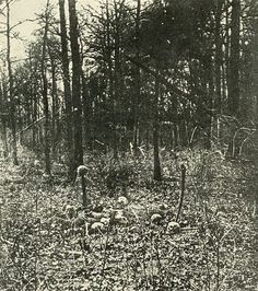 Skulls remaining on the field and trees destroyed at the Battle of the Wilderness, 1864, Virginia.