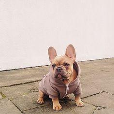 French bulldog in a hoodie - so cute!