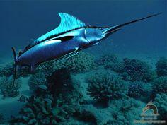 swordfish wallpaper