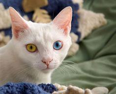 Heterochromia cat
