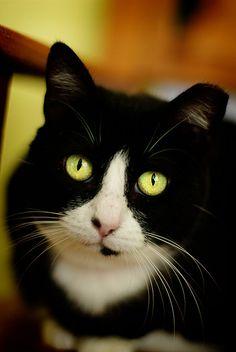 cat ~ Tuxedo Beauty