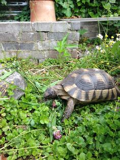 Russian Tortoise Diet Guide / Helpful Tips And Tricks Sulcata Tortoise, Tortoise Care, Outdoor Tortoise Enclosure, Savage Wallpapers, Wood Carving For Beginners, Russian Tortoise, Hens And Chicks, Tortoises, Perfect World