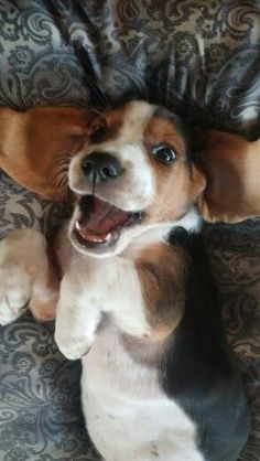 Are you interested in a Beagle? Well, the Beagle is one of the few popular dogs that will adapt much faster to any home. Puppies And Kitties, Cute Puppies, Cute Dogs, Doggies, Baby Animals, Cute Animals, Funny Animals, Cute Beagles, Beagle Puppy