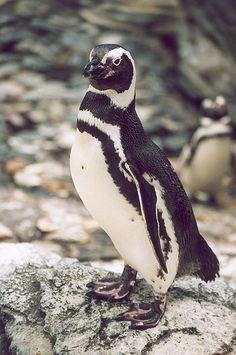 Tučňák magellanův