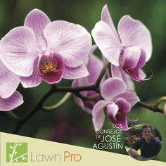"""Flor de la Orquidea Phalenopsis.  Deben su nombre a su similitud de las flores con las mariposas: """"Phalaena = mariposa"""" y """"Opsis= parecido"""". Como muchas otras especies de orquídeas, las phalaenopsis son epífitas, es decir, crecen en las ramas de los árboles o en medio de las rocas. Por tanto, sus raíces no están hechas para buscar la tierra sino para agarrarse a cualquier estructura o soporte natural y captar los nutrientes a partir del agua de lluvia y la materia orgánica."""