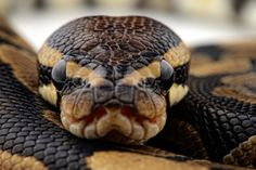 Not a good view if you're a mouse...  (Python regius)