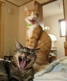 Cute Cat Memes, Funny Animal Memes, Cute Funny Animals, Cute Baby Animals, Funny Dogs, Cute Baby Cats, Cute Cats And Kittens, I Love Cats, Crazy Cats
