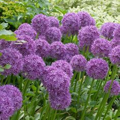 A big favorite from coast to coast, Allium Globemaster bloom a perfect globe made up of tiny star-shaped flowers that measures up to 8 inches across! These huge purple globes appear in early summer at Herbaceous Perennials, Flower Garden, Purple Flowers, Allium Flowers, Flower Garden Plans, Flower Landscape, Plants, Bulb Flowers, Flower Pot Design