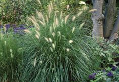 Perennial ornamental fountain grasses, like this Hameln fountain grass, are striking in the landscape and in containers. Hameln features fluffy, buff-colored plumes arching above the foliage. Learn more in our slideshow of perennial ornamental grasses at The Home Depot's Garden Club.