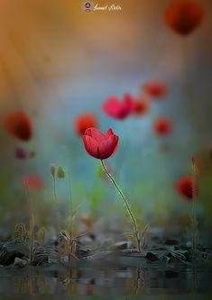 Gelincik - Poppy - Gelincik Çiçeği Yansıması.. Poppy flowers reflection..