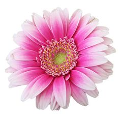 The Pink Feather mini gerbera daisies are a hot pink that ombre through the outer petals. Arrange these alone or create a gorgeous bouquet by pairing with the F Love Flowers, Silk Flowers, Beautiful Flowers, Daisy Flowers, Daisy Drawing, Daisy Painting, Gerbera Flower, Flower Art, Wedding Art