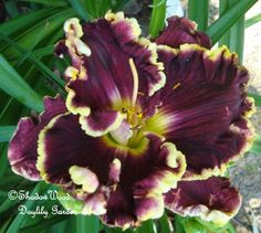 Violet Becomes You x Home of the Free. Shadow Wood Gardens Daylily Blog