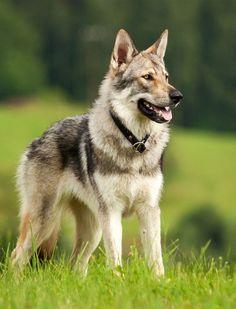Czechoslovakian Wolfdog Breed Information Center tschechoslowakischer Wolfshund Wolf Dog Breeds, Rare Dog Breeds, Cute Dogs Breeds, Best Dog Breeds, Wolfdog Hybrid, Pet Dogs, Dogs And Puppies, Pets, Tamaskan Dog