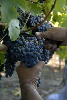 Chilean grapes.❤❤❤❤love Chilean wine! Chilean Wine, Wine Press, Wine Bucket, Growing Grapes, Wine Cheese, How To Be Likeable, Cabernet Sauvignon, Fine Wine, Wine Drinks