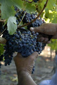 Chilean grapes.❤❤❤❤love Chilean wine!