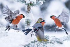 bullfinches in snow fight by JrnAllanPedersen