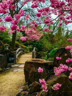 Cherry blossoms and a small wooden bridge.