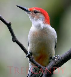 The Male Red-bellied Woodpecker at a Crossroad