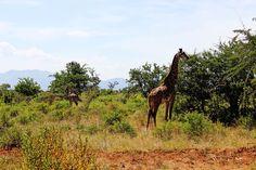 Tsavo West National Park_Giraffe
