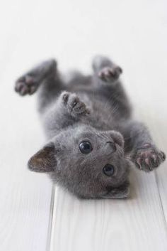 Good Grey Chubby Adorable Dog - e1c221aa31d47c2dbfdadd47f374069f--gray-kitten-grey-cats  Best Photo Reference_39205  .jpg