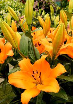 #bot #flowerbulbs #lilium #flower #bulbs #bulbos #lirio #lirios #lelie #lily #bloembollen #bloemen #bollen #bulbs
