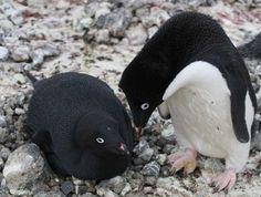 All-Black Penguins 8 Oddly Colored Creatures Unusual Animals, Rare Animals, Beautiful Birds, Animals Beautiful, Adorable Animals, Beautiful Pictures, Purple Squirrel, Melanistic Animals, Albinism