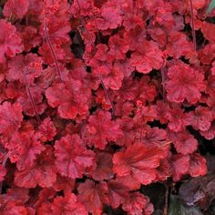 Heuchera 'Cherry Cola' is a neat and compact variety of Heuchera with with fabulous rich deep red foliage. In Summer, the plant also carries masses of bright cherry red flowers on strong compact stems. This is a great plant for all season